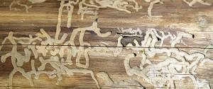 houtworm op plank