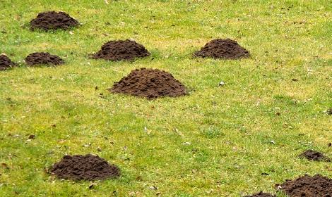 mollen aan het werk op grasveld