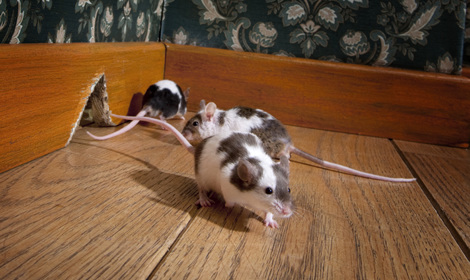 last van muizen en ratten in amsterdam? bel ons!, Gartenarbeit ideen