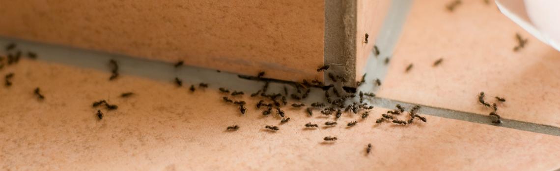 mieren verdelgen ongediertebestrijding Amsterdam
